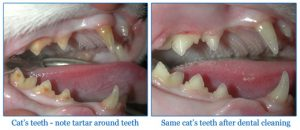 Cleaning and extracting teeth in cats